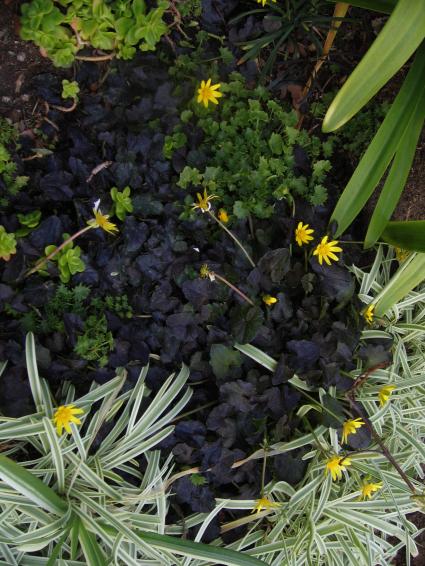 oxalissucculentgrass.jpg