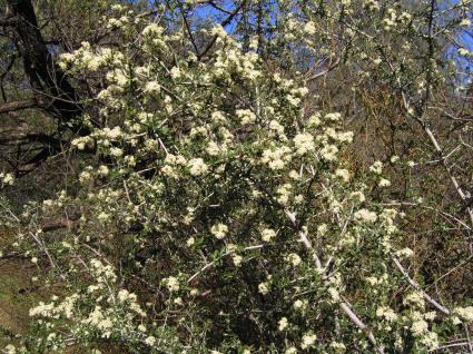 ceanothus-cuneatus-flowering.jpg