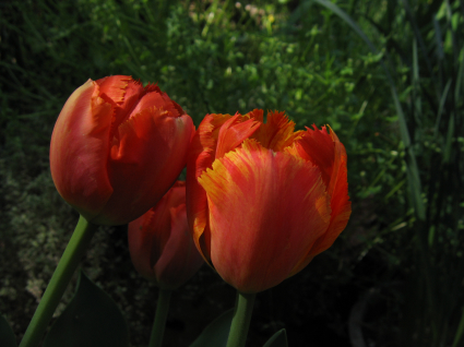 crazy-tulips-outside-coloring.jpg