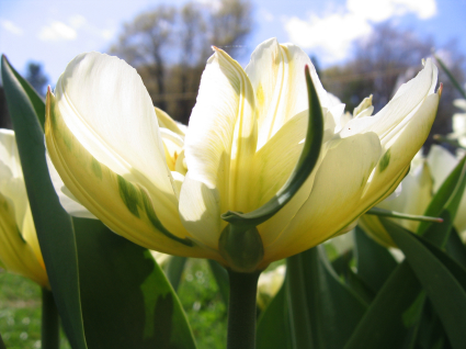 Exotic Emperor tulip yellow streak