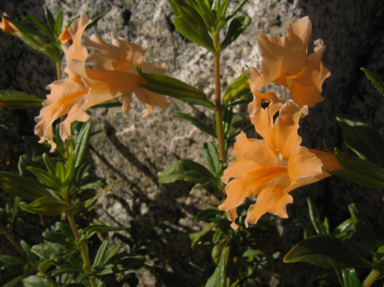 sticky-monkeyflower-granite.jpg