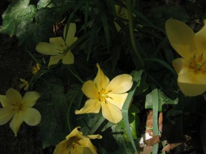 tulipa-batalinii-with-cyclamen.jpg