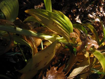 lilyoak-leaves.jpg