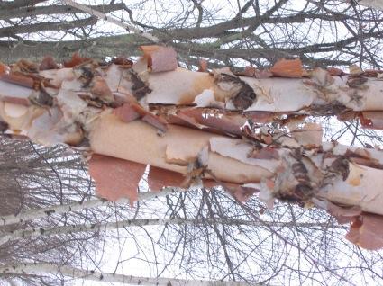 paperbark-birch.jpg