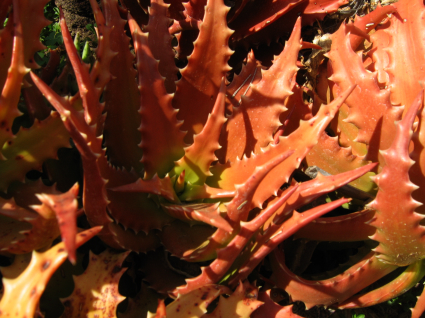 aloe-dorotheae.jpg