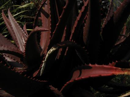 aloe-somaliensis.jpg
