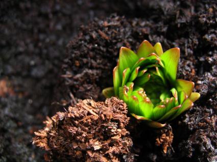 emerging-lily.jpg