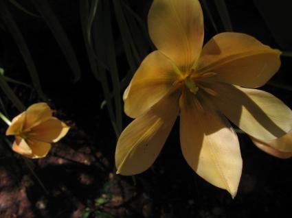 t-batalinii-apricot-jewel.jpg